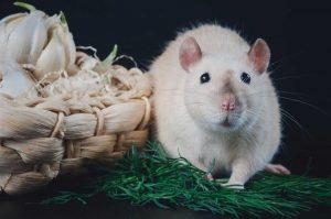 5 mẹo vặt đuổi chuột đơn giản nhưng cực kì hiệu quả